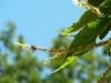 Fleur de châtaignier du lieu-dit Pâturage